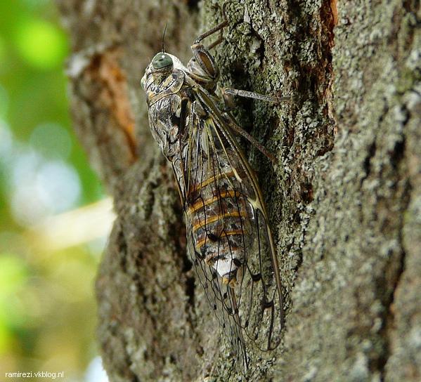 Cicade imago