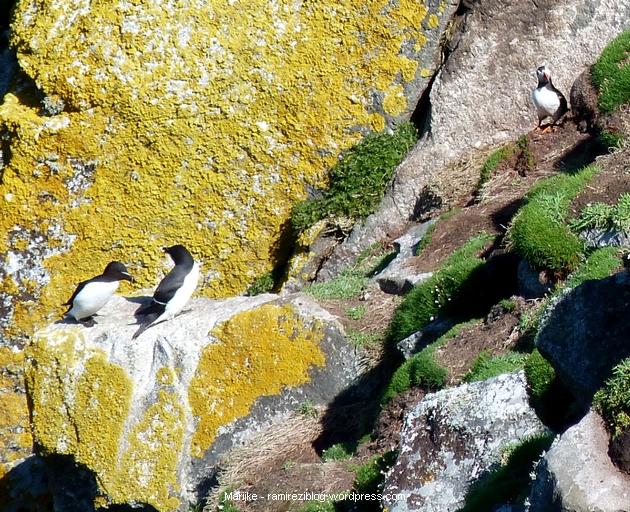 Papegaaiduiker en Gewone Alken - Puffin and Razorbills