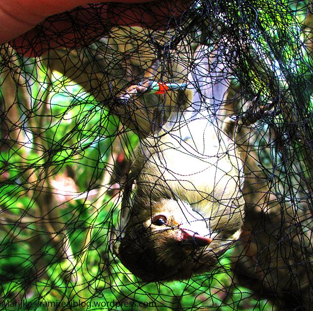 Denis Island 14 Warbler in net