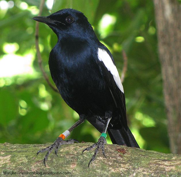 Denis Island 23 - Seychelles Magpie-Robin 01